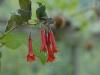 Fuchsia fulgens (tender}
