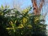 Mahonia x \'Winter Sun\'