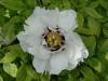 Paeonia suffruticosa \'Lactiflora\'
