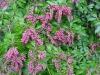 Pieris japonica \'Valley Valentine\'