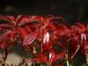 Pieris japonica \'Katsura\'