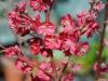 Prunus persica \'Melred\'