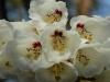 Rhododendron macabeanum close-up