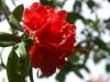 Rhododendrom \'Grenadier\'