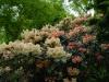 Rhododendron \'Chelsea Seventy\'