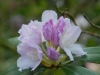 Rhododendron \'Hoppy\' (yak.)