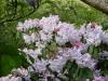 Rhododendron Loderi Group \'Fairyland\'