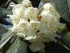 Rhododendron macabeanum truss