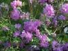 Rhododendron oreotrephes