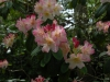 Rhododendron \'Percy Wiseman\' (yak.)