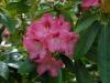 Rhododendron \'Sneezy\' (yak.)