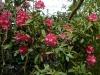 Rhododendron \'Vintage Rose\' (yak.)