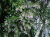 Ribes sanguineum var.glutinosum \'Album\'