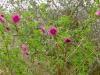 Rubus spectabilis \'Olympic Double\'
