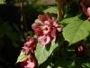 x Sinocalycalycanthus raulstonii \'Hartlage Wine\'