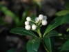 Skimmia japonica  \'Fructo Alba\'