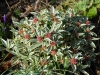 Skimmia japonica \'Magic Marlot\'