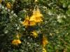Sophora \'Sun King\'