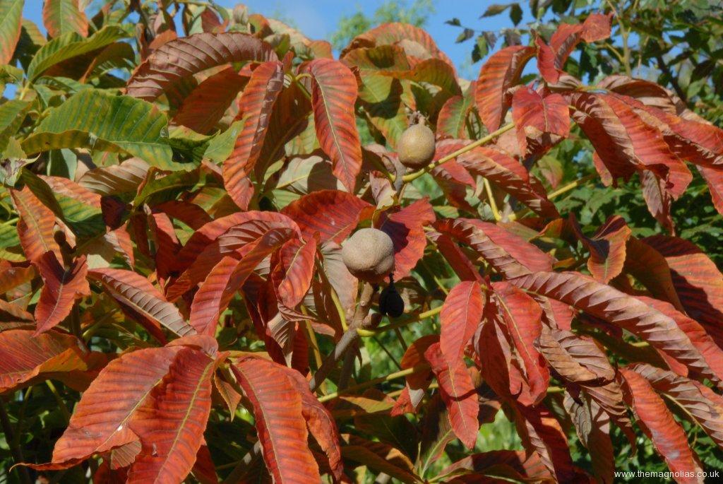 Aesculus neglecta 'Autumn Fire'