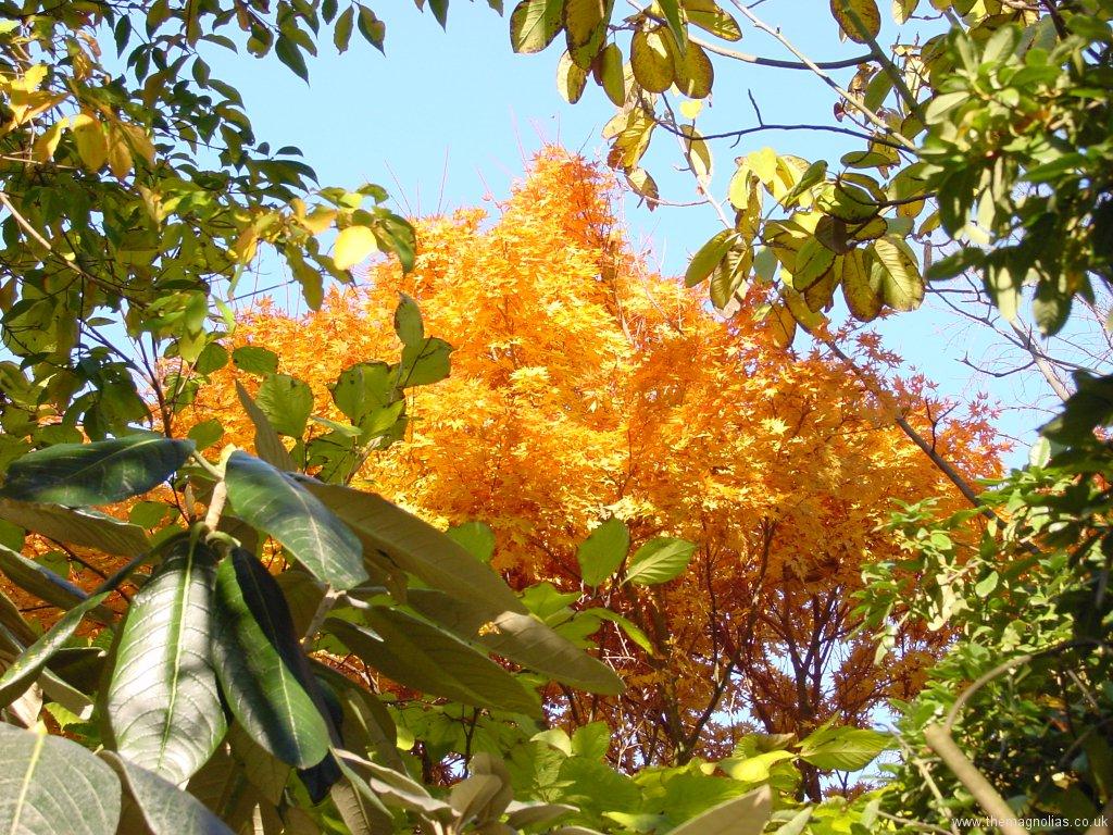 Acer palmatum 'Sengo-kaku' ('Senkaki')