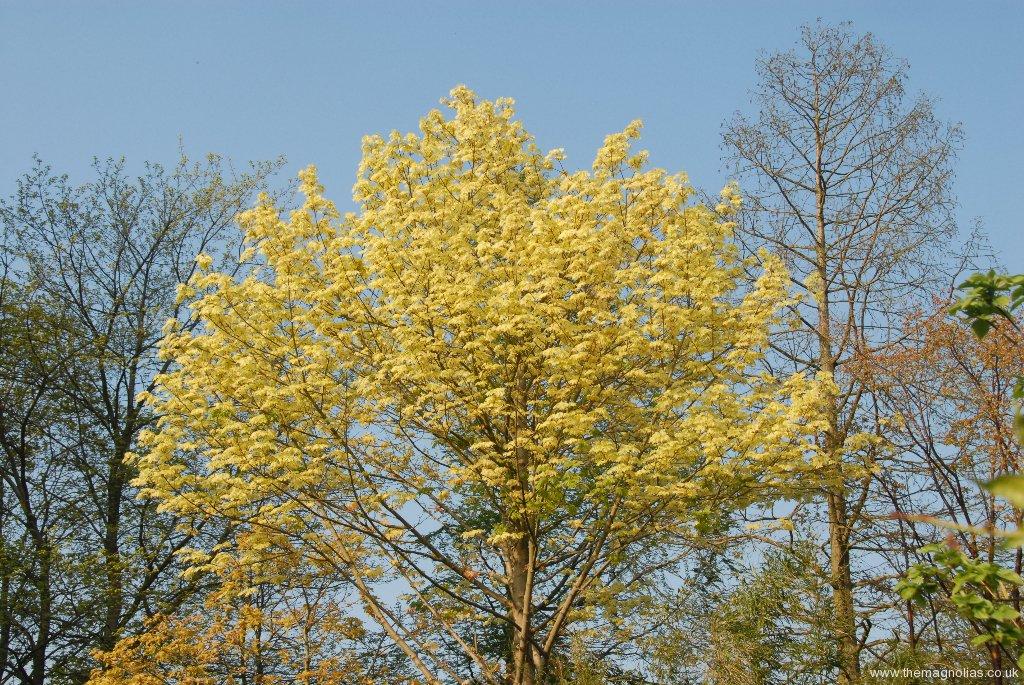 Acer platanoides 'Drumondii'