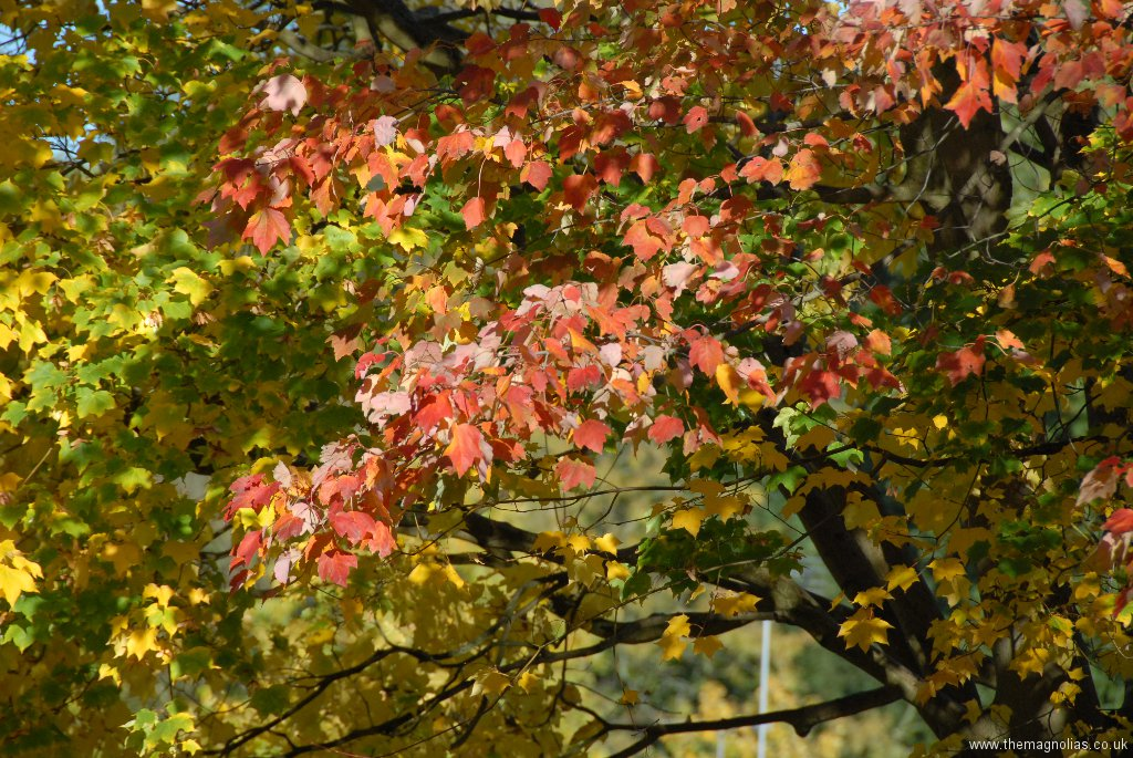 Acer rubrum 'Scanlonr'