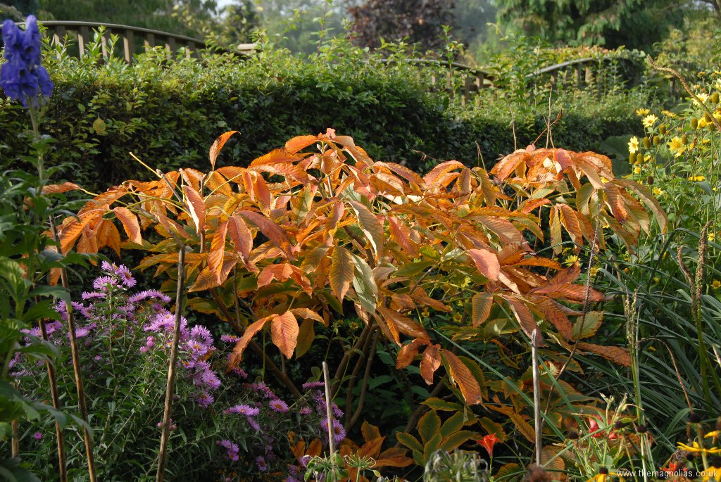 Aesculus neglecta 'Autumn Fire'