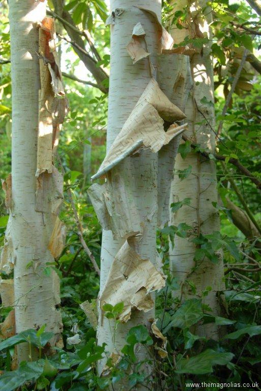 Betula utilis var. jacquemontii peeling bark