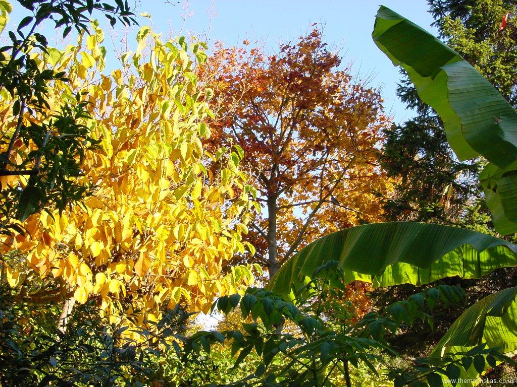 Magnolia x veitchii 'Isca' and Acer platanoides 'Crimson King'