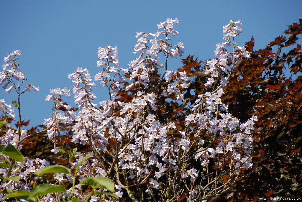 Paulownia fargesii in front of Acer platanoides 'Crimson King'