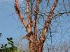 Betula albosinensis var. septemtrionalis